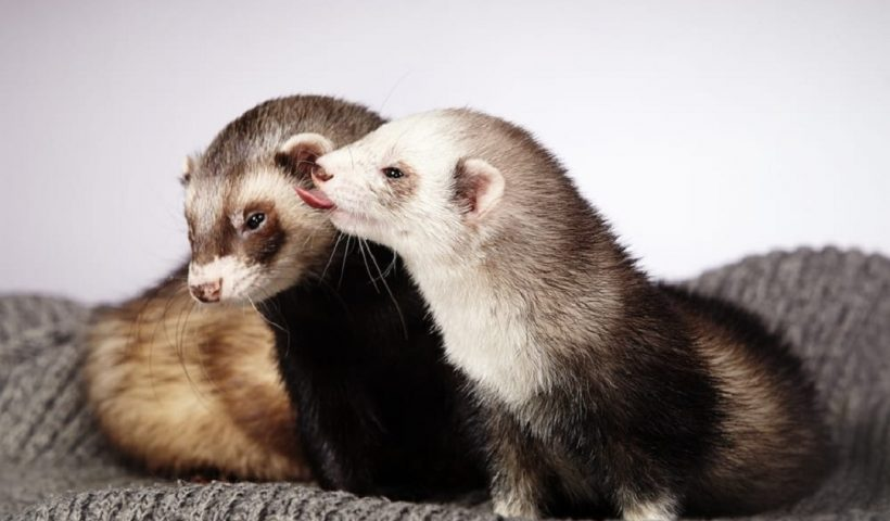 Incorporate a Ferret to your residence